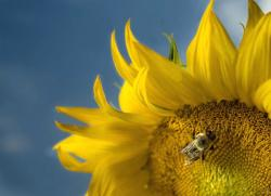 bee on sunflower.jpg