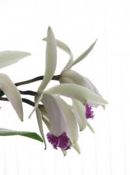 dendrobium orchid flower in white.jpg