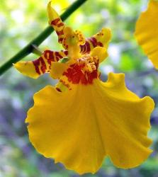 bright yellow orchids with orange red center.jpg
