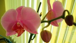 bright light pink orchid flowers with bud.jpg