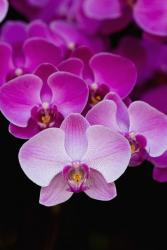 bright dendrobium orchid flowers in pink.jpg