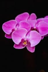 bright dendrobium orchid flower picture.jpg