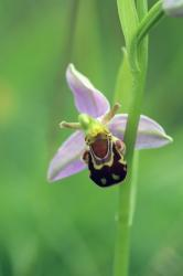 Bee Orchid picture.jpg