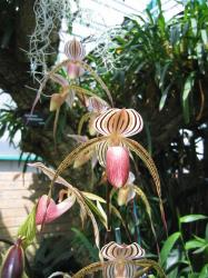 beautiful spide orchid flowers photo.jpg