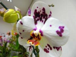 beautiful orchid flower with buds.jpg