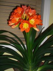 orange orchid flowers with yellow eyes photo.jpg