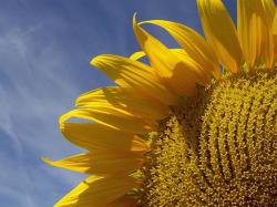 big yellow sunflower photo.jpg