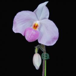 light purple orchid with bud.jpg