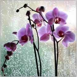 cattleya orchid flowers picture.jpg