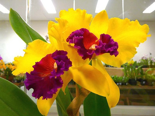 bright yeloow orchids with red and purple eyes.jpg