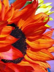 big orange red sunflower picture.jpg