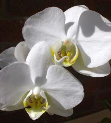 white orchids with yellow centers.jpg