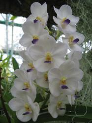 white orchid flowers with yellow and purple centers.jpg