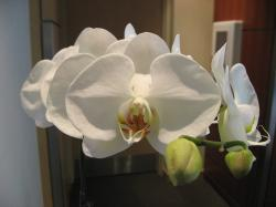 White Orchid flowers photo.jpg