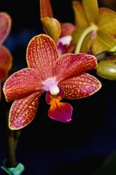 red and yellow orchid flowers pics.jpg