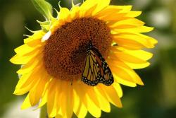 butterfly on sunflower.jpg