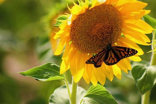 Butterfly Kisses Sunflower Jpg