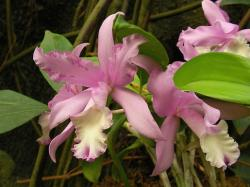 pink orchid flowers photo.jpg