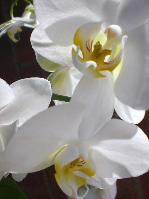 photo of white orchids_Chinese flower pictures