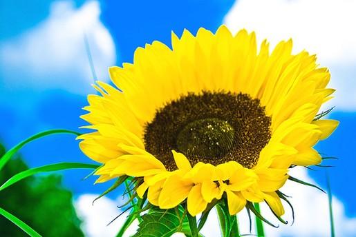 Bright yellow sunflowerg mightylinksfo