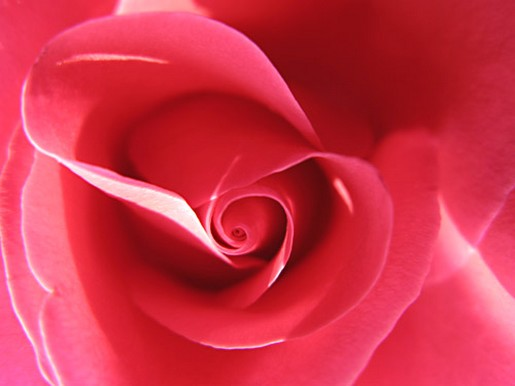flower bright pink rose photo.jpg