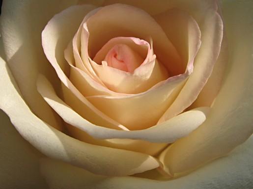 Cream rose for Cream rose wallpaper