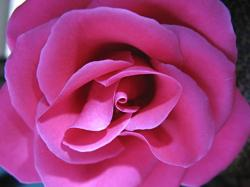 beautiful rose photo.jpg