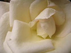 white rose photo.jpg