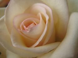 pretty rose photo.jpg