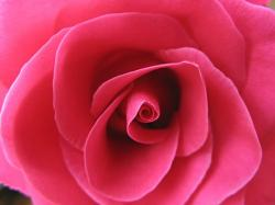 picture of bright pink rose.jpg