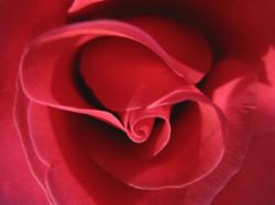 pic of red rose.jpg