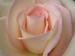 photo of light pink rose.jpg