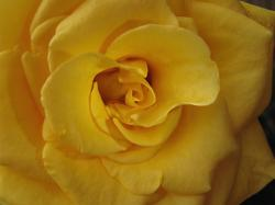 photo of golden rose.jpg