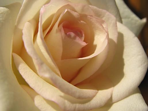 Photo of cream rose for Cream rose wallpaper