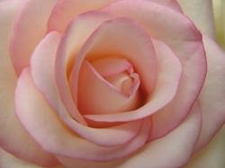 light pink rose pic.jpg