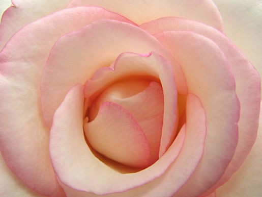 light pink rose photo.jpg