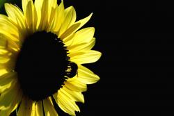 bright yellow sunflower photo.jpg