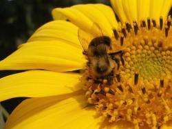 close up photo of sunflower with a bee.jpg
