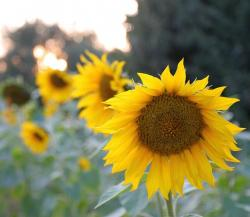 close up photo of a sunflower.jpg
