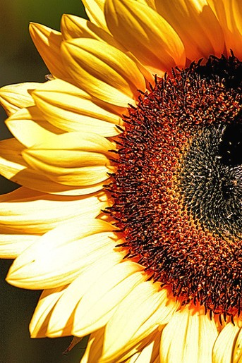 close up of half of a sunflower jpg