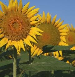 clonning sunflower.jpg