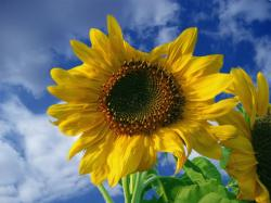clear picture of sunflower.jpg
