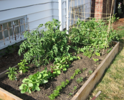 Home vegetable garden picture.PNG