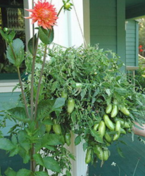 Vegetable growing on container hanging garden.PNG