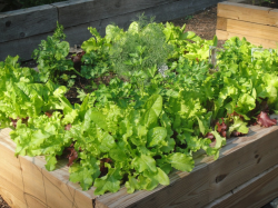 Vegetable lettuce growing on wood island.PNG