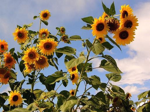 Fall Bridal Bouquet Sunflower