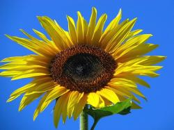 face of sunflower.jpg