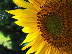 face of sunflower close up photo.jpg