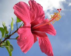 bright pink hibiscus flower under the sky