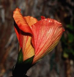 young hibiscus flower
